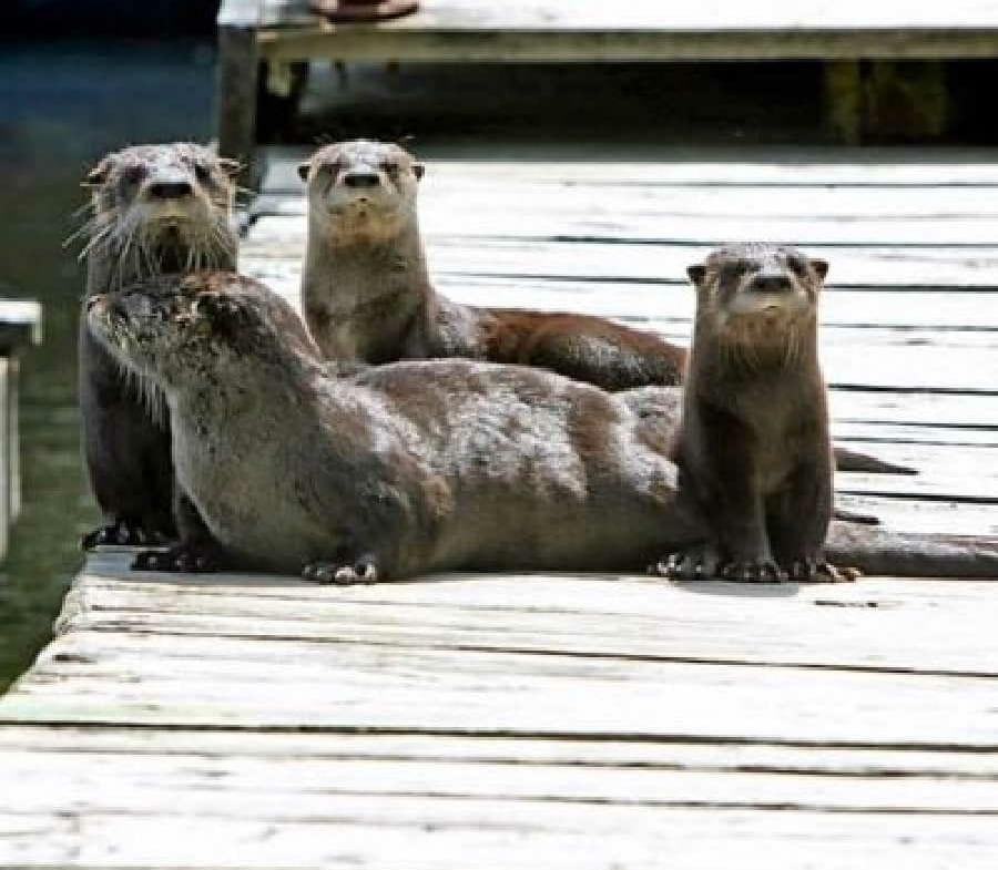 Sunset Resort Ash River Trail otters